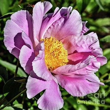 Bowl of Beauty Peony Collection