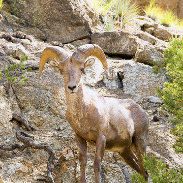 Bighorn Sheep and Mountain Goats Collection