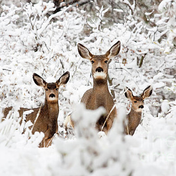 Deer in Snow Collection
