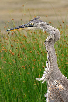 Lara Ellis - Great Blue Heron Closeup