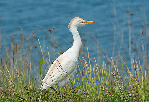 Lara Ellis - Cattle Egret