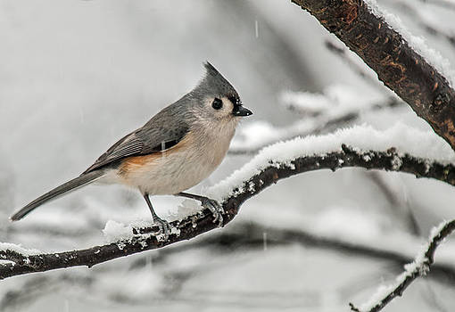 Lara Ellis - Snowy Little Titmouse