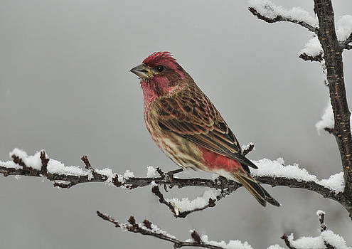 Lara Ellis - Winter Purple Finch