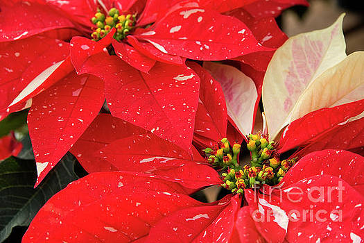 Jill Lang - Red and White Poinsettias