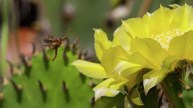 Paul Rebmann - Florida Longhorned Beetle and Cactusflower