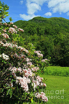 Jill Lang - Mountain Laurel in North Carolina