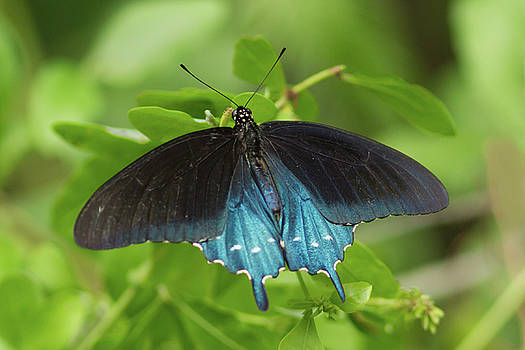 Paul Rebmann - Pipevine Swallowtail Butterfly