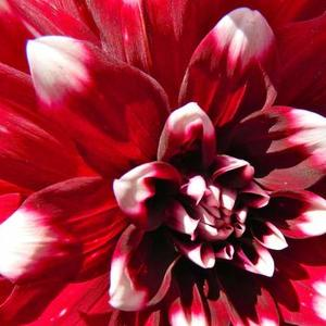 Delightful Dahlias Art Competition