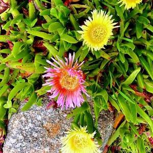 Ice Plant In Flower Art Competition